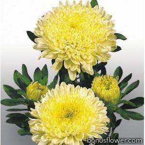 Астра на срез Matador®: Yellow