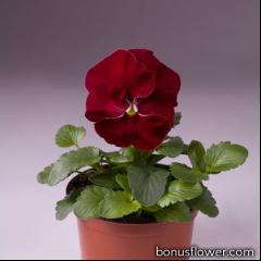 Виола Cello™ cherry rose
