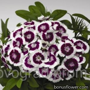 Гвоздика тур  Diabunda Purple Picotee
