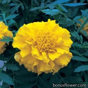 Бархатцы гибридн Zenith Yellow