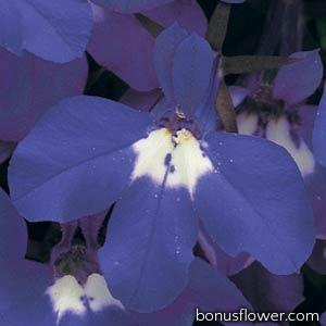 Лобелия черешковая RIVIERA BLUE EYES