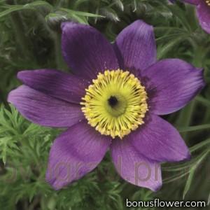 Прострел Pinwheel Blue Violet Shades