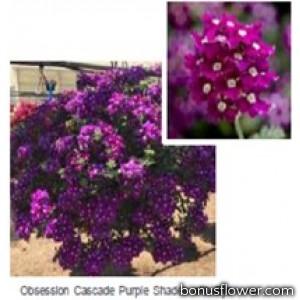 Вербена Obsession® Cascade Purple Shades with Eye