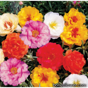 Портулак крупноцветковый Sunseeker: Multi Colour Mix