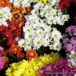Хризантема - Chrysanthemum