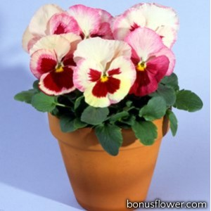 Виола Acquarelle Strawberry F1 Orchid
