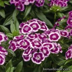 Гвоздика - Dianthus