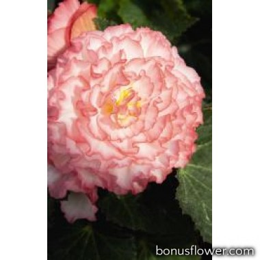 Бегония Nonstop®: Rose Petticoat