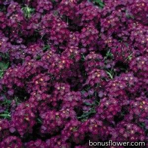 Алиссум морской Wonderland™: Deep Purple