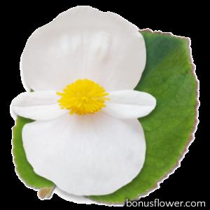 Бегония BIG: White Green Leaf