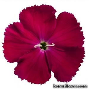 Гвоздика кит Diana rose shades