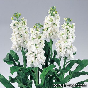 Левкой (раннее цветение) Noble White