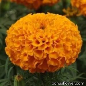 Бархатцы Прямост Dune Orange