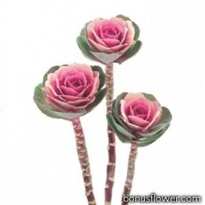 Капуста декоративная Crane F1 Pink