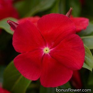 Катарантус розовый TITAN® F1 REALLY RED