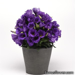 Эустома (Лизиантус) SAPPHIRE BLUE