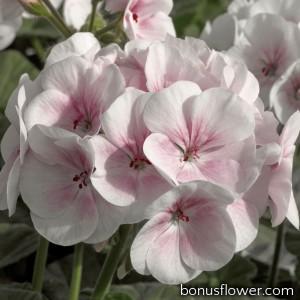 Пеларгония садовая Maverick Appleblossom