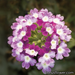 Вербена Obsession® Cascade Violet Twister
