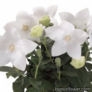 Платикодон  Astra: Pure White