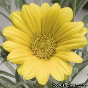 Гацания жестковатая Talent® : Yellow