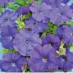 Петуния мелкоцветковая Cerny (Чехия)