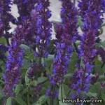Сальвия лесная - Salvia nemorosa