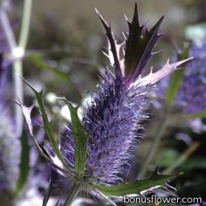 Синьоголовник Ливенворта Purple Sheen