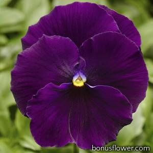 Виола Delta® F1 Pure Violet