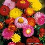 Бессмертник - Helichrysum