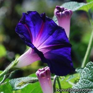 Ипомея пурпурная Knowlians Black