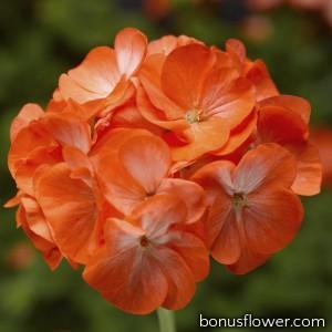 Пеларгония Pinto Premium Orange Bicolor