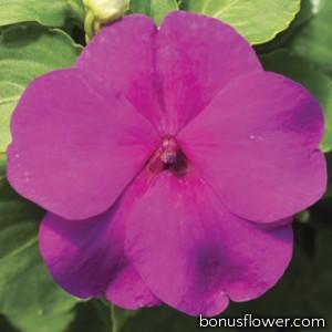 Бальзамин Accent Premium™ Lilac