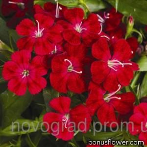 Гвоздика турецкая - Diabunda™ Crimson