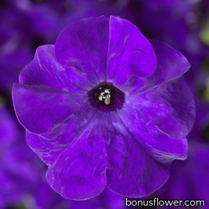 Петуния крупноцв Tritunia F1 Blue