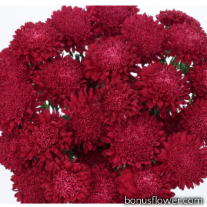 Астра на срез  Bonita:  Scarlet