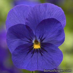 Виола Penny™ Deep Blue