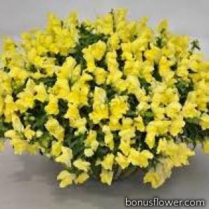 Львиный зев  Candy Showers®: Yellow
