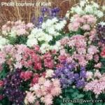 Аквилегия обычная - Aquilegia vulgaris