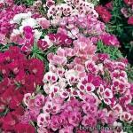 Кларкия (Годеция) - Clarkia amoena (Godetia)