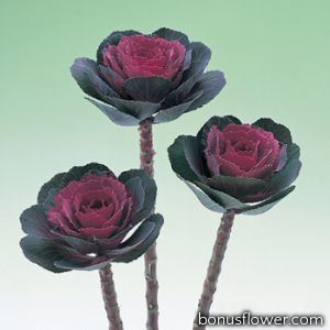 Капуста декоративная Crane F1 Rose