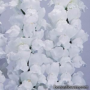 Львиный зев POTOMAC® F1 White 3,4