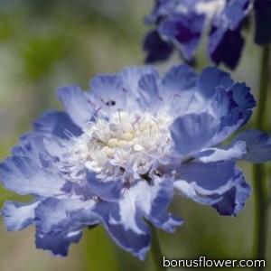 Скабиоза кавказская Fama®: Deep Blue