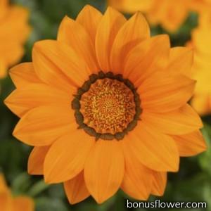 Гацания жестковатая Big Kiss™ Orange