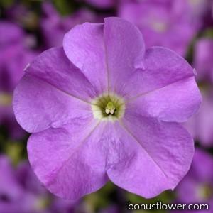 Петуния крупноцв Tritunia F1 Lavender