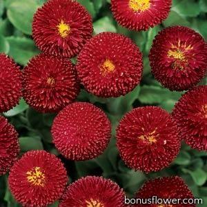 Маргаритка BELLISSIMA Red