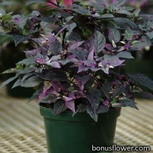 Перец декоративный Purple Flash (h 33-38 cm)