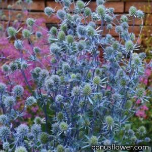 Синеголовник плоскол, Glitter: Blue