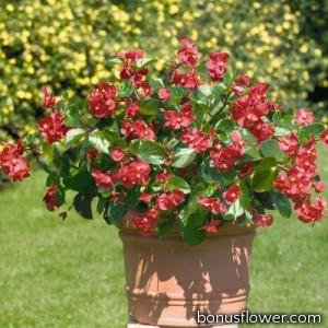 Бегония BIG: Red with Green Leaf