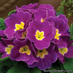 Примула Primera™ Violet Shades
