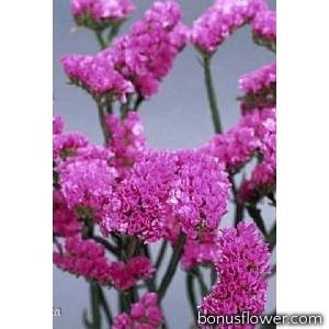 Лимониум розовый